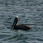 Brown Pelican swimming in the Codrington Lagoon