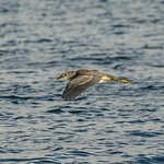 immature yellow crowned night heron in flight over the Lagoon