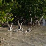 A flock of resident, non-breeding sanderlings in the Lagoon