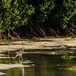 Yellow-crowned Night Heron in the Lagoon