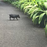 Kahuku tractor ride, waiamea falls and even little pigs on the trail to the water falls