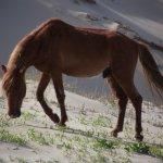 Beautiful bachelor stallion on the dunes in Corolla