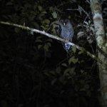 """San Isidro"" Owl"