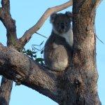 Awake koala, Raymond Island