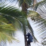 You can watch coconut harvesting from your room