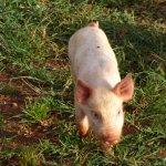 A friendly resident little Piglet.