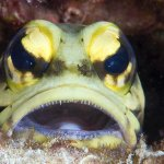 jawfish in 2 meters on the house reef