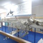 """Old Tom"" Killer Whale skeleton"