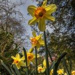Daffodils in the Grove