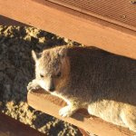 Dassie at Waterfall gorge area