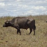 Cape Buffalo in Nairobi National Park