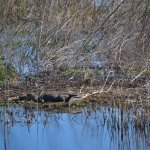 The American Alligator - On a cool February day.