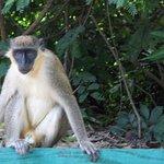 Green Velvet Monkey