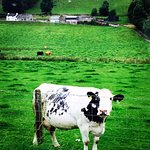 A Cow spotted during tour