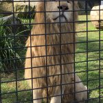 Lion at Shoalhaven Zoo