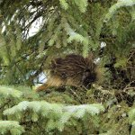 Napping porcupine