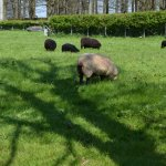 All around the museum are fields with sheep grazing.