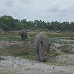 Another white rhino!
