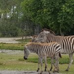 This and another young zebra were nuzzling each other shortly after this...