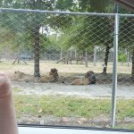 The lions were the only animals separated from us by a fence ....