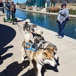 Mushing demonstration along the canal. Malamutes were spectacular!