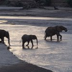 Elephants crossing the river as it was quite shallow
