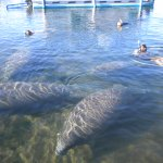 Just a small sample of the myriad Manatees we dove with
