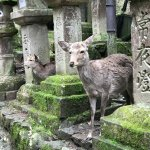 The deer are better behaved a mile from Nara.