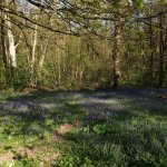 Bluebells looking lovely in the woodland walk