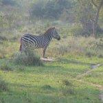 zebra meditation