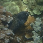 Huuuuuge Whitemouth Moray Eel, which has scars on left side of its face