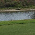 Gator sunning himself by the 5th Tee box.