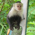 White faced capuchin on Palo Verde boat