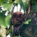 Sloth sleeping in a tree ( Arenal)