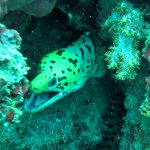 Fimbrated Moray Eel - Anemone Reef (15/Apr/17)