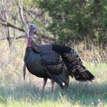 Male wild turkey