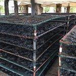 The Dried Grapes drying naturally!