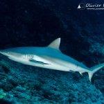Shark diving in Mauritius