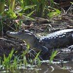 Alligator, Indio Maiz Biological Reserve