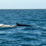 Fin Whale, Balaenoptera physalus,