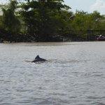 Guayanian River Dolphin