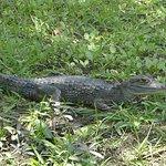 a caiman at the plantation