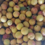 fruits from our our orchard offered free to our guests during may/june