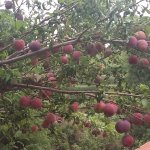our orchard laden with fruits during may/june offered free to guests