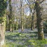Bluebell carpet in April