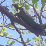 Iguane (femelle)