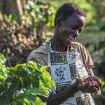 The coffee is hand picked by the women from the Omwani Women's Coffee Cooperative