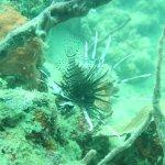 Rotfeuerfisch (lionfish)