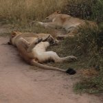 Afternoon nap in the bush...