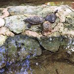 Turtles found within the resort waterways.